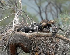 Hawk Raised By Golden Eagles With Eagle Chicks #sonyalphagallery