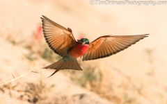 Carmine Bee-eater with insect
