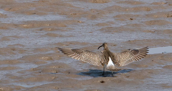 Whimbrel Stretching