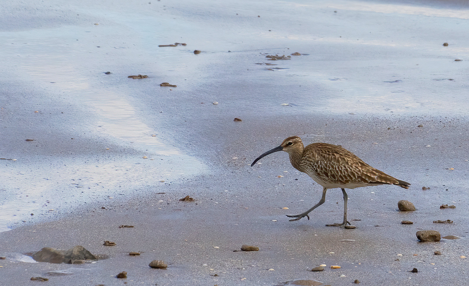 Whimbrel on the shore